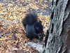 Black_squirrel_in_Philadelphia,_PA.jpg